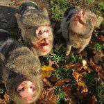Schnitzel, Napoleon & Miss Piggy